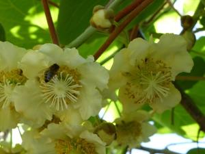 butinage de l'abeille dans la fleur de kiwi